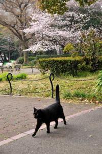 日比谷公園の桜猫 Sakura Neko (Sakura Cat)