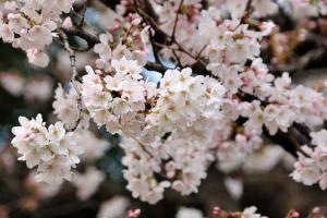日比生公園の桜