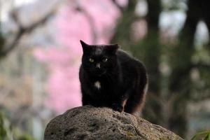 日比谷公園の陽光桜猫 Sakura Neko (Cat)