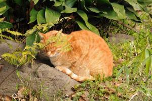 日比谷公園のチャトラ猫