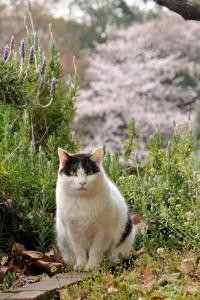 日比谷公園の桜と猫 sakura neko (sakura cat)