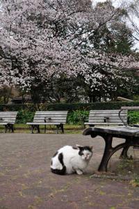 日比谷公園の桜と猫(桜猫)sakura neko (sakura cat)