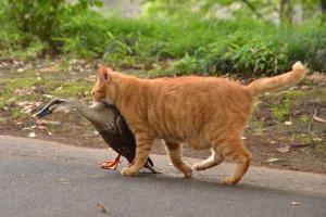鴨を口に咥えた猫 duck in cat's mouth 日比谷公園