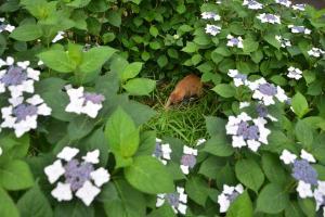 紫陽花の中の猫 日比谷公園