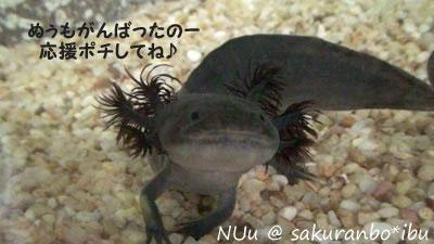 ブログ村>ウーパールーパー