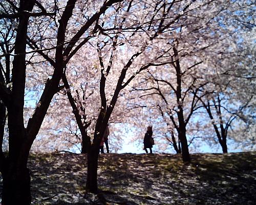 これも日曜日、強風の中の桜