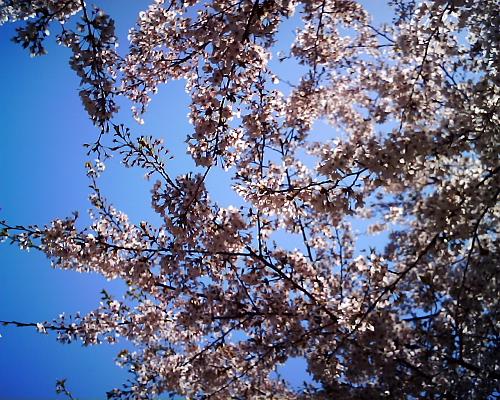 青空に桜!でも逆光か?・・・