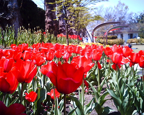 チューリップ・・・赤・黄は開きすぎ、ピンクはまだ蕾
