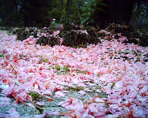 近所の八重桜が風で散ってた