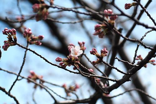鳥屋野潟公園の桜はまだ蕾