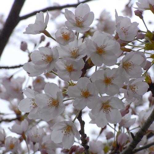 通勤途中にある細い桜も咲いた!