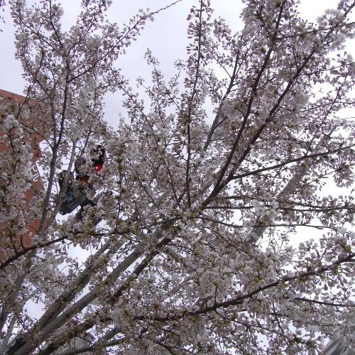「危険な交差点」の桜ですよ