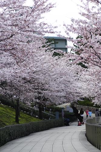 毎年恒例の白山公園・空中庭園はまだ5部咲き