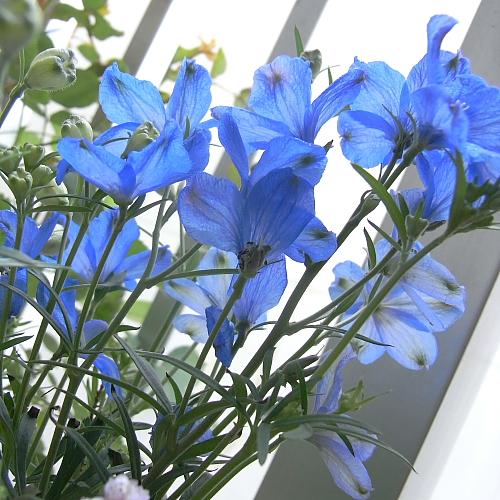 濃いブルーがさわやかで大好きな花