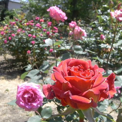 寺尾中央公園のバラコーナーは2ヶ所あるんだよ