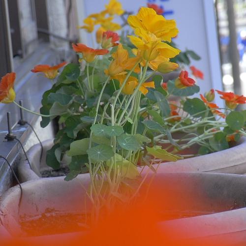 会社の窓辺には黄色とオレンジのナスタチウム