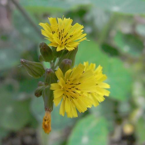 今年はナスタチウム全滅・・・雑草の花が咲いてた