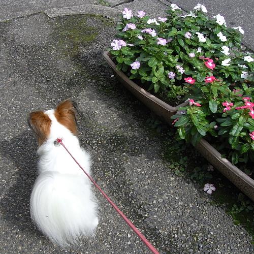 サリー@散歩中は飼い主無視