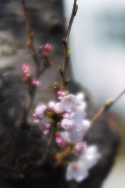 桜咲くけれども・・・