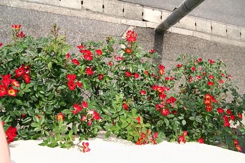 2011年、2番花がたくさん咲きました