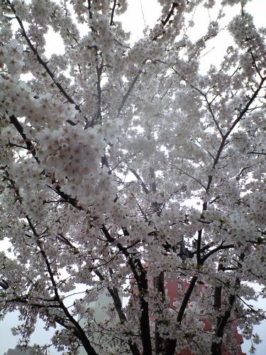 危ない交差点の桜