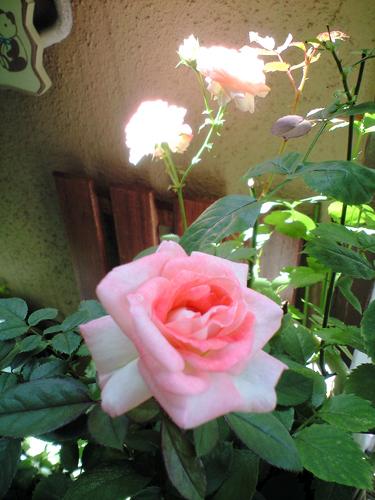 バラが次々咲いています。かわいいよ~~♪