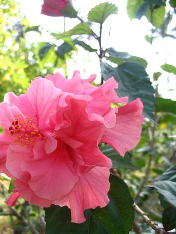 サムイ島の天気 花。