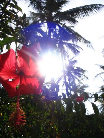 サムイ島の天気 ハイビスカス