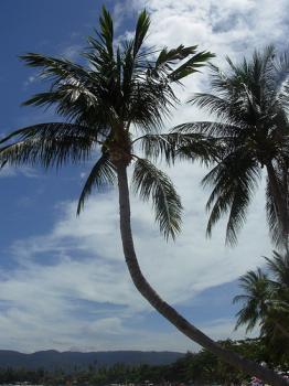 サムイ島の天気 サイリービーチ・ココナッツの木