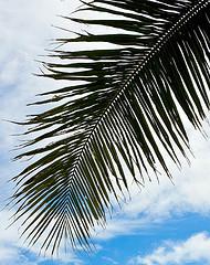 サムイ島の天気 近所のココナッツ