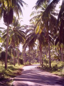 サムイ島の天気 ココナッツ