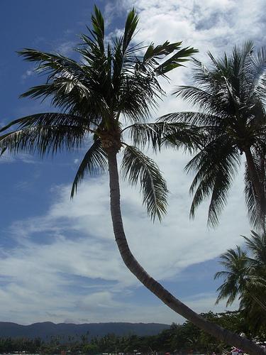 サムイ島の天気 ココナッツの木