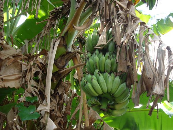 サムイ島の天気 バナナ
