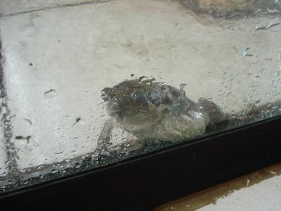 サムイ島の天気 カエル先生①