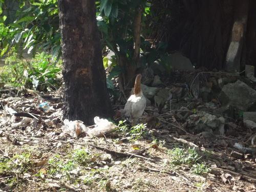 サムイ島の天気 裏庭にはにわとり①