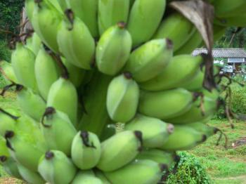 サムイ島の天気 タオ島バナナ