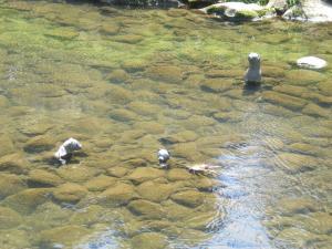 川の中のイタチ