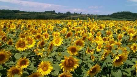 PAP_sun flower