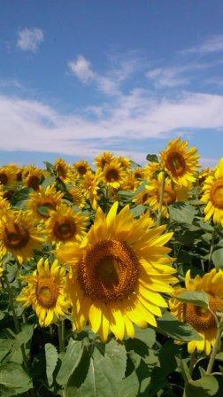 PAP_sun flower cu