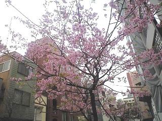 麻布十番(一足早い桜)