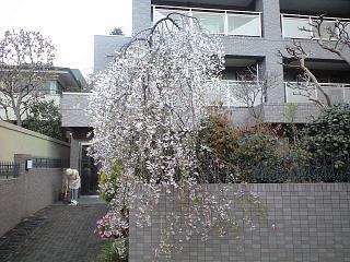 しだれ桜(その1)