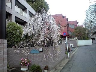 しだれ桜(その2)