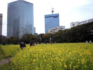 浜離宮(菜の花1)