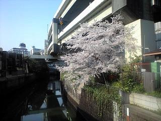 通勤途上の桜1