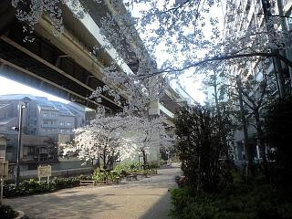 通勤途上の桜2