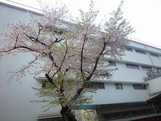 麻布の桜(その1)