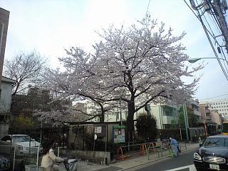 麻布の桜(その2)