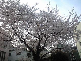 麻布の桜(その3)
