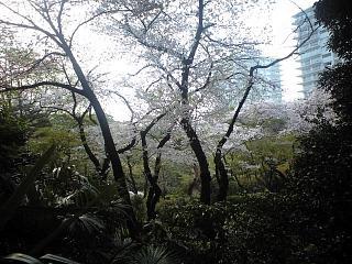 麻布の桜(その4)
