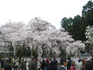 醍醐寺の枝垂れ桜2